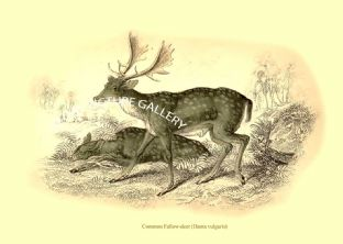 Common Fallow-deer (Dama vulgaris)